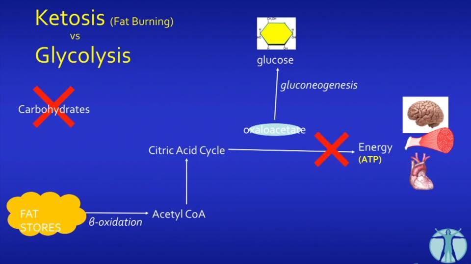 รูปที่ 4. แต่เม็ดเลือดแดงและตับ ยังคงต้องการกลูโคสในการสร้าง ATP(ทั้ง 2 เนื้อเยื่อนี้ใช้คีโตนไม่ได้) ร่างกายจึงต้องหาทางสร้างกลูโคสให้ โดยใช้ Oxaloacetate (จำได้ไหมเอ่ย) เป็นวัตถุดิบในการสร้างกลูโคสขึ้นมาใหม่ เรียกขบวนการนี้ว่า Gluconeogenesis (GNG) ส่งผลให้ Oxaloacetate หมดอย่างรวดเร็ว ขบวนการสร้างพลังงานจากไขมันติดขัด ร่างกายฉลาดมาก มันจะไม่ยอมให้มีการติดขัดของการสร้างพลังงาน ATP