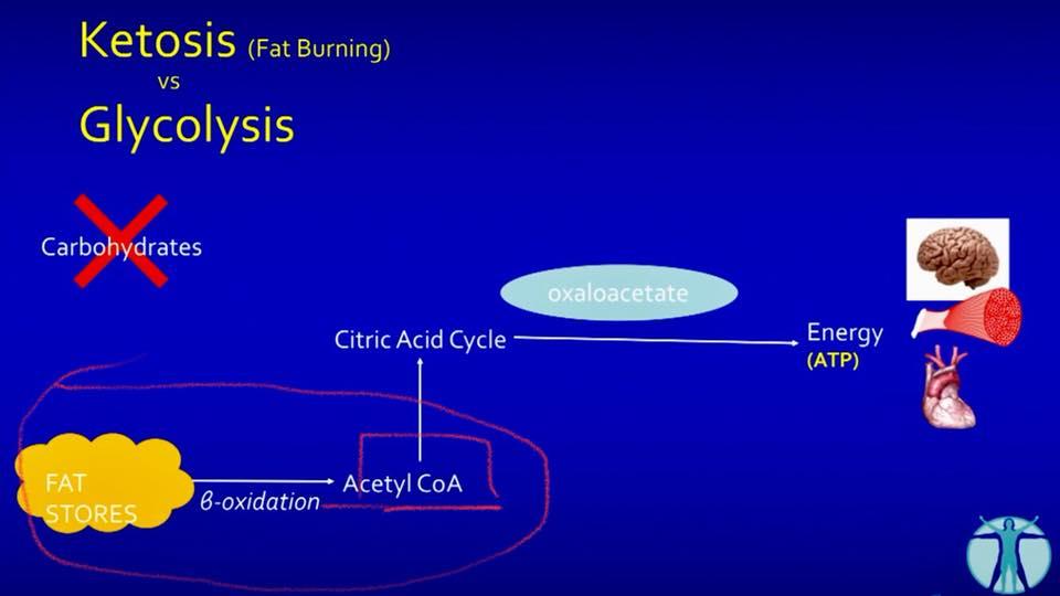 รูปที่ 3. เมื่อกลูโคสจากไกลโคเจนหมดไปในวันที่ 3 ของการทานคาร์บต่ำไขมันดีสูง ก็จะไม่มีการสร้าง Acetyl CoA จากกลูโคส คราวนี้แหละ ไขมันจะทำหน้าที่สร้าง Acetyl CoA แทนผ่านขบวนการ Beta Oxidation ที่ตับ (ที่พี่วงกลมสีแดง) ขบวนการสร้างพลังงาน ATP ก็ยังเกิดขึ้นต่อเนื่องไม่ติดขัด