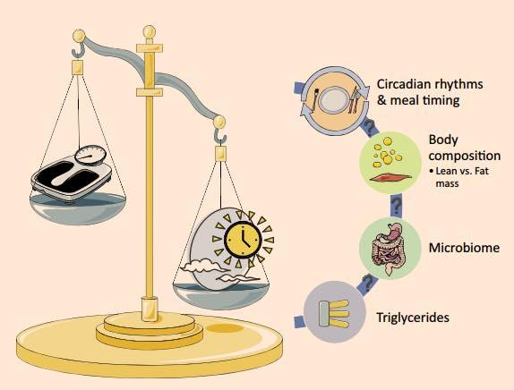 รูปที่ 1 : ความสมดุลของช่วงเวลากินอาหาร การกระจายแคลอรี่ในแต่ละมื้อ ช่วงเวลาหยุดกินอาหาร ที่สอดคล้องกับนาฬิกาชีวภาพ ส่งผลต่อการลดน้ำหนัก และปรับปรุง metabolic marker