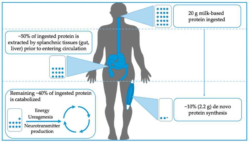 รูปที่ 1 : แสดงถึงการกระจายการใช้งานของโปรตีนที่กินเข้าไป