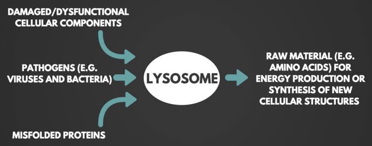 รูปที่ 3 : รูปกราฟฟิกง่ายๆ (แต่ขบวนการที่เกิดจริงไม่ง่ายแบบนี้) ที่แสดงขั้นตอนการทำงานของ lysosome เริ่มจากส่วนประกอบของเซลล์ที่หมดสภาพ สิ่งแปลกปลอม เช่น ไวรัสและแบคทีเรีย และโปรตีนที่พับตัวผิดปรกติ เขาเรียก misfolded proteins จะถูกกลืนกินเข้าไปเก็บไว้ในถุง เรียกว่า Autophagosome แล้ว Autophagosome ก็จะเคลื่อนไปหลอมรวมกับ lysosome แล้วก็ใช้เอ็นไซม์ย่อยส่วนประกอบเซลล์ นำเอาส่วนที่ยังใช้ได้มา recycle เป็นพลังงาน หรือเป็นวัตถุดิบในการสร้างโครงสร้างของเซลล์ใหม่
