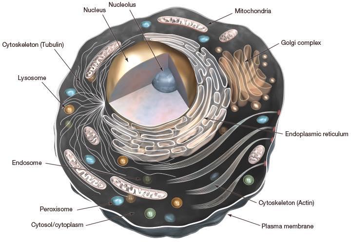 รูปที่ 2 : เซลล์และส่วนประกอบภายในเซลล์