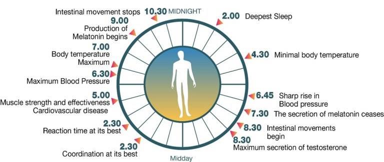 ขบวนการ Autophagy ถูกควบคุมโดยนาฬิกาชีวภาพเช่นกัน