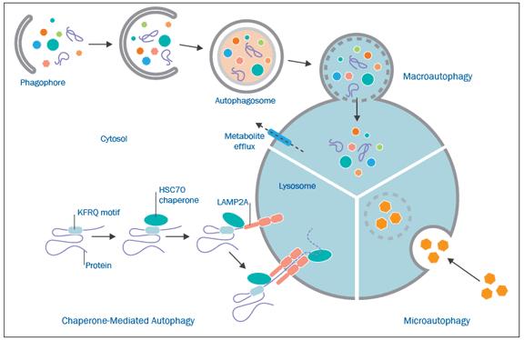 types Of Autophagy