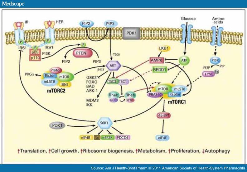 mTOR Signaling Pathway ในเซลล์สิ่งมีชีวิต
