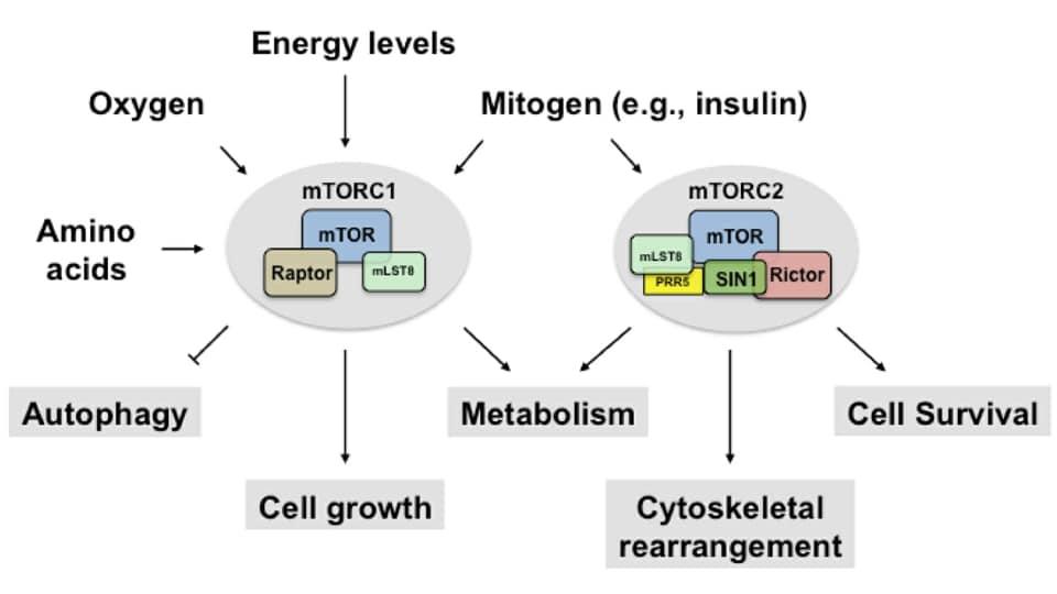 รูปที่ 1 : The mTOR Complexes and their effects จากรูปจะพบว่า เมื่อมีอาหาร (กรดอะมิโน) มีระดับพลังงานสูง (ปริมาณ ATP) มีระดับออกซิเจน มีฮอร์โมนอินซูลิน mTORC1 และ mTORC2 ถูกกระตุ้นทันที เข้าสู่โหมด Cell Growth ขบวนการ Autophagy ภายในเซลล์ถูกยับยั้ง Credit picture : หนังสือ Metabolic Autophagy โดย Siim Land