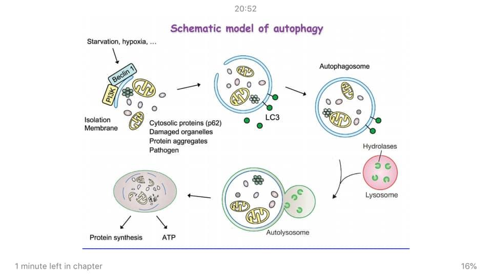 รูปที่ 2 : เครดิตจากหนังสือ Metabolic Autophagy โดย Siim Land หน้า 90 แสดงถึงกลไกของการเกิด Autophagy 3 กลไก