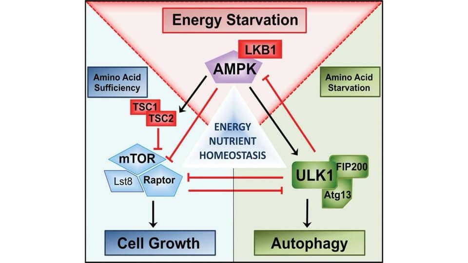 รูปที่ 2 : The Kinase Triad (mTOR-AMPK-ULK1) จะทำงานประสาน feedback กันไปมา เพื่อรับรู้สารอาหารและพลังงานภายในเซลล์ จะได้นำทิศทางเซลล์ไปในโหมดเจริญเติบโต หรือ Autophagy Credit picture : หนังสือ Metabolic Autophagy โดย Siim Land