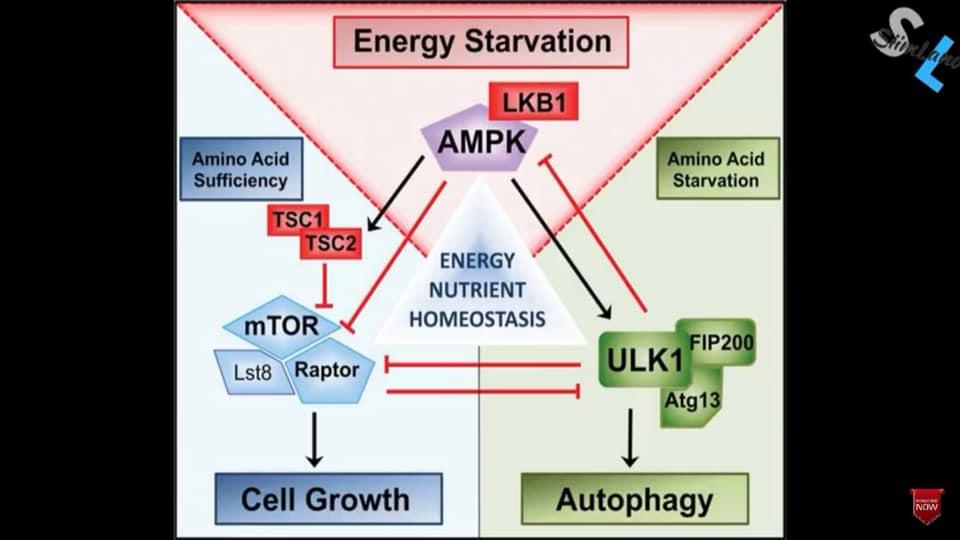 รูปที่ 1 : Triad Kinase ที่มีความสำคัญในการกำกับให้ร่างกายอยู่ในโหมดเจริญเติบโต หรือ ขจัดของเสีย เครดิตรูปภาพ : หนังสือ Metabolic Autophagy ของ Siim Land