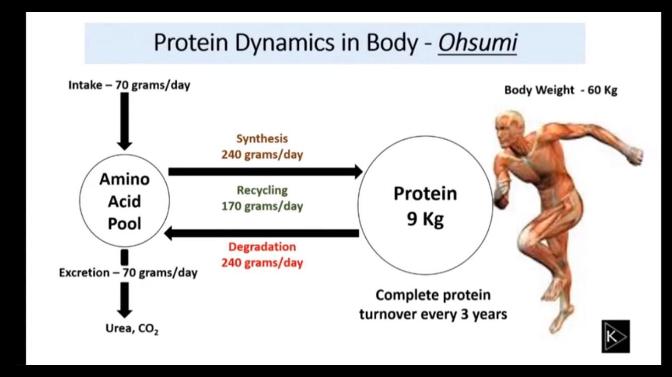 รูปที่ 1 : กระบวนการ Autophagy มีความสำคัญอย่างที่เราคาดไม่ถึงต่อการไหลเวียนของโปรตีนในร่างกาย คือ Autophagy เป็นแหล่งรีไซเคิลโปรตีนให้ร่างกายถึงวันละประมาณ 170 กรัม นอกเหนือไปจากโปรตีนที่ได้จากการรับประทานอาหาร