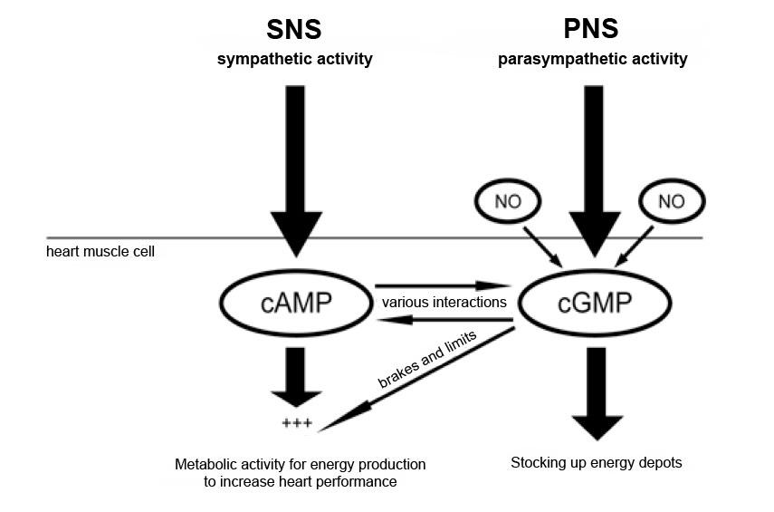 รูปที่ 1 : การควบคุมการทำงานของกล้ามเนื้อหัวใจ ในภาวะเครียดปรกติ ผ่านระบบประสาทอัตโนมัติ ทั้ง SNS และ PNS เมื่อมีความเครียด จะกระตุ้น SNS —> เพิ่มระดับ cAMP —> มีการเพิ่มการทำงานของกล้ามเนื้อหัวใจ (เต้นแรงเร็วขึ้น) ในขณะที่ PNS จะเป็นระบบประสาทที่สร้าง cGMP และร่วมกับ NO ในการยับยั้ง cAMP ผลลัพธ์คือ กล้ามเนื้อหัวใจกลับมาทำงาน (เต้น) เป็นปรกติ