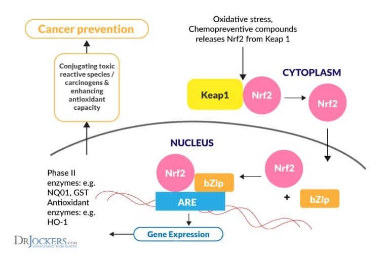 รูปที่ 2 : วิถี Keap1-Nrf2 ซึ่งเปิด-ปิดยีนสำคัญมากกว่า 600 ชนิด ที่ควบคุมการสร้างสารต้านอนุมูลอิสระที่ทรงพลังในร่างกาย