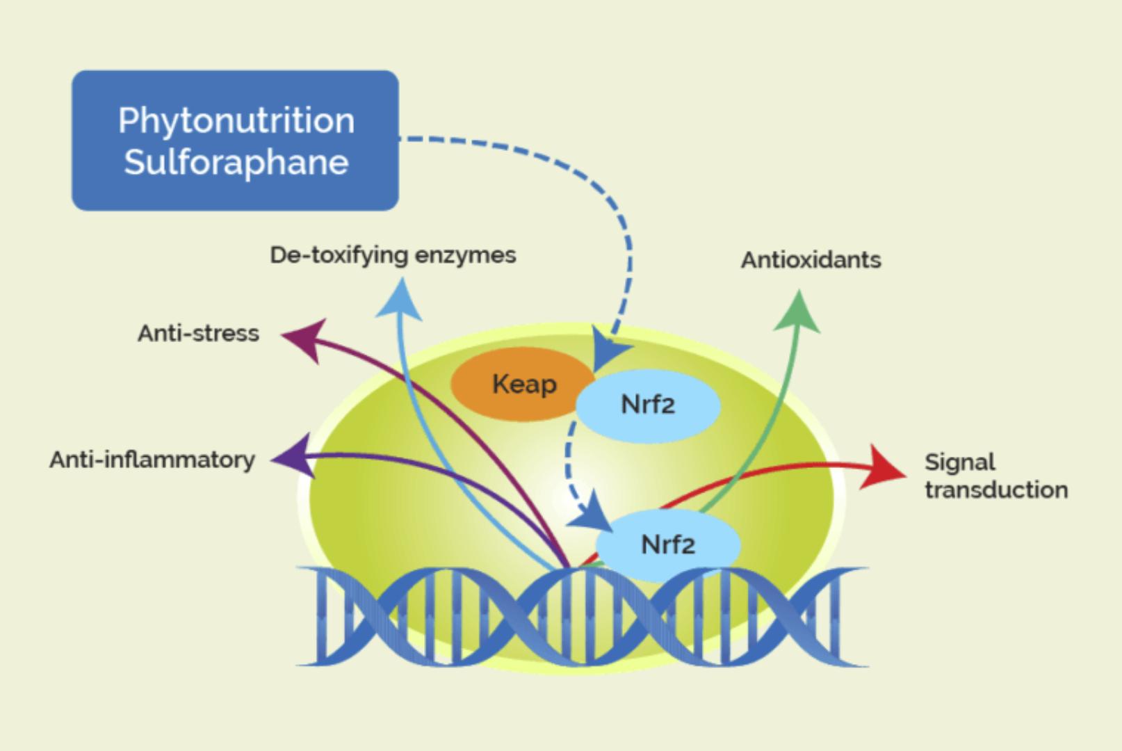 รูปที่ 3 : สาร Sulforaphane ที่พบในพืชตระกูล crufiferous ออกฤทธิ์กระตุ้นวิถี Nrf2 ซึ่งกระตุ้นการสร้างสารต้านอนุมูลอิสระ กระตุ้นเอ็นไซม์เฟส 2 ซึ่งใช้ทำลายสารพิษที่ตับ ช่วยต้านการอักเสบระดับเซลล์