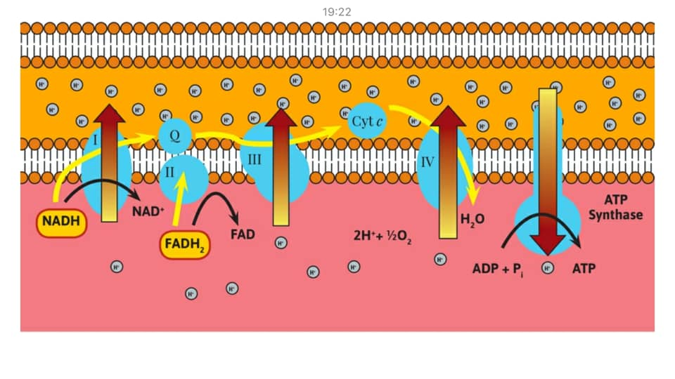 รูปที่ 2 : ขั้นตอนที่ 4 ในกระบวนการ Cellular Respiration คือ การไหลของอิเล็คตรอนผ่านผิวเมมเบรนของไมโตคอนเดรีย เพื่อสร้าง ATP ต้องการ เอ็นไซม์ Cytochrome c oxidase เอ็นไซม์ ATP Synthase และ ออกซิเจน